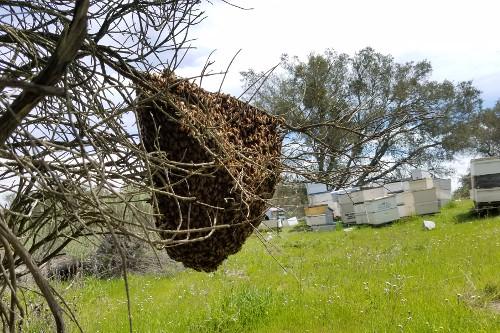 swarm-apiary.jpg
